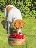 an inquisitive dog with a basket of plums poster