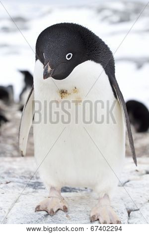Adelie Penguin Standing On The Edge Of The Colony On The Antarctic Island