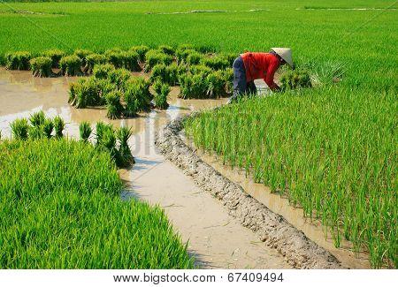 Vietnamese Farmer Working On Rice  Field