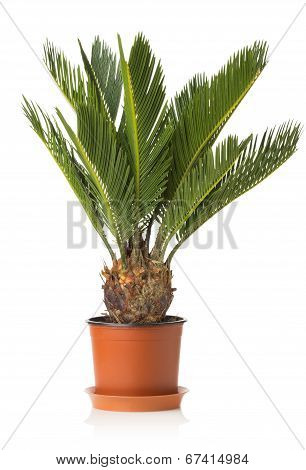 Palm Tree Cycas Revoluta Isolated On White Background