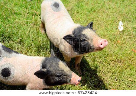 Vietnamese Pot Belly Piglet