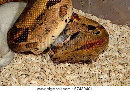 Hypomelanistic Columbian Boa Constrictor