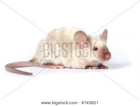 Little Fancy Mouse
