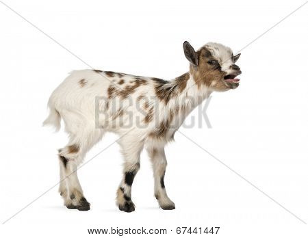 Young domestic goat bleating, kid, isolated on white