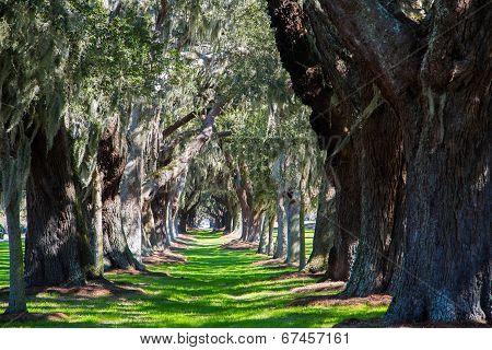 Oak Tree Lane Of Grass