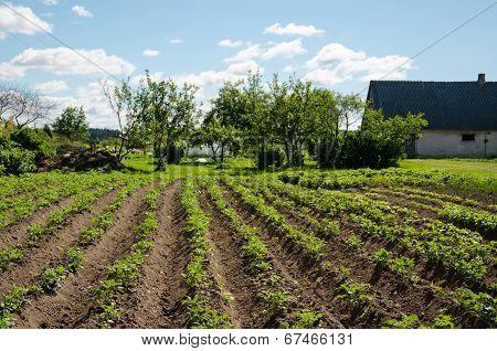 Freshly Plowed Furrows Of Young Potatoe In Garden