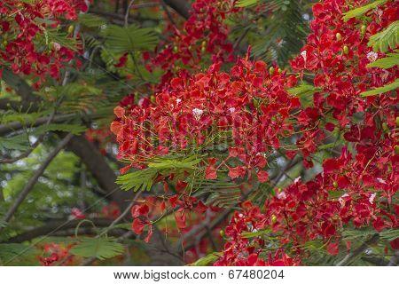 Delonix regia Flame tree