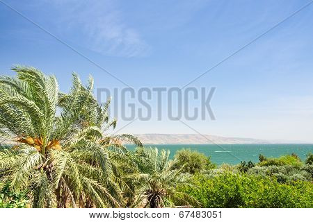 Date Palms On The Shore Of Lake Kinneret