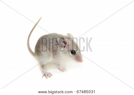 Eastern or arabian spiny mouse baby on white