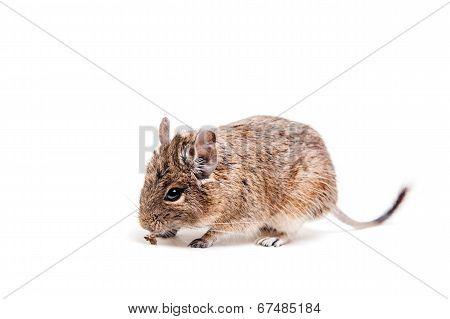 The Degu or Brush-Tailed Rat, on white