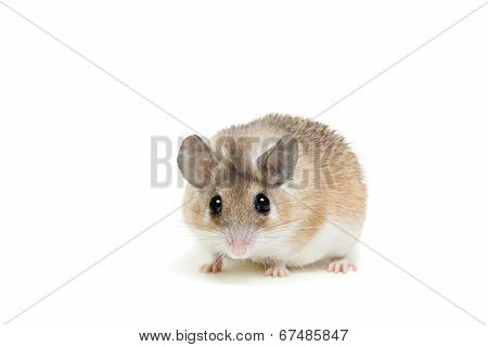 Eastern or arabian spiny mouse, Acomys dimidiatus