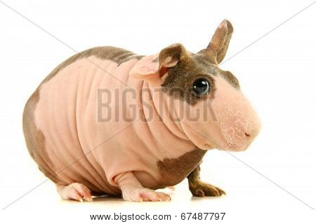 Hairless Guinea Pig isolated on white