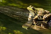 A Green Frog resting on a log. poster
