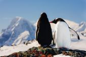 Two penguins dreaming sitting on a rock, mountains in the background poster