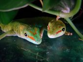 a male and female madagascar giant day gecko in their tank poster
