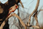 A Pyrrhuloxia, a tropical relative of the Cardinal, perched and looking for food in Arizona. poster