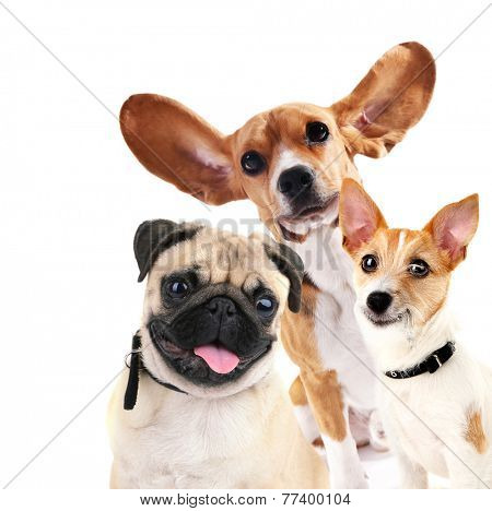 Funny dogs isolated on white