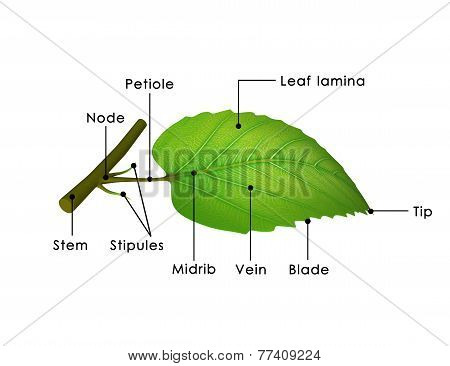 Leaf Parts