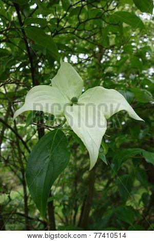 Cornus Nuttallii Flower