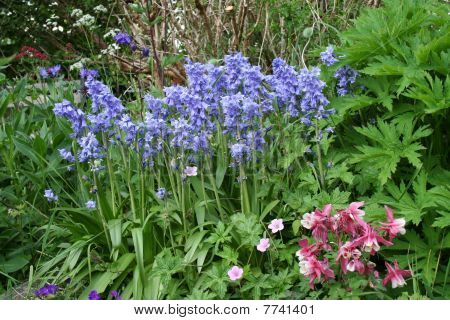 Bluebells in the garden.