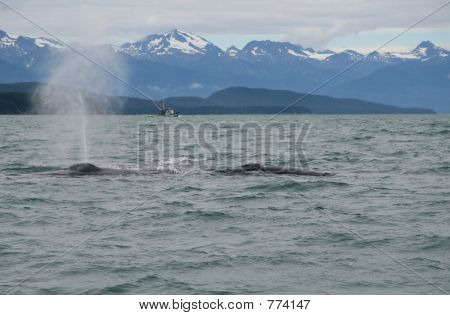 Humpback Whale Spouting