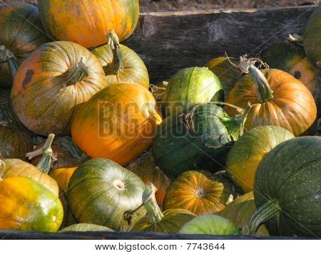 Pumpkin Crop