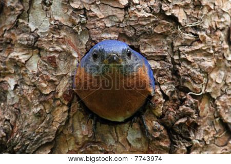 Eastern Bluebird (Sialia sialis) on a tree in a nest hole poster