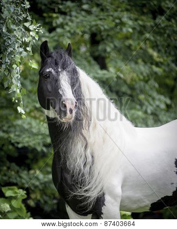 The tinker horse with long white mane poster
