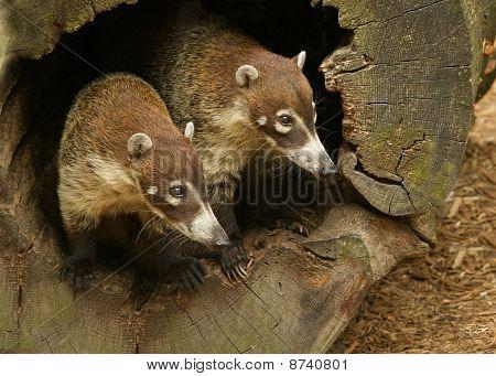 Two Coati