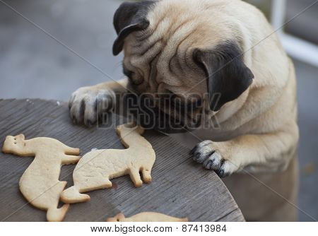 Beautiful male Pug puppy truing to get cookies in shape of a ferret on a wooden table background.