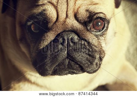 Close up face of Cute pug puppy dog looking at us, sunshine, Sleep packground