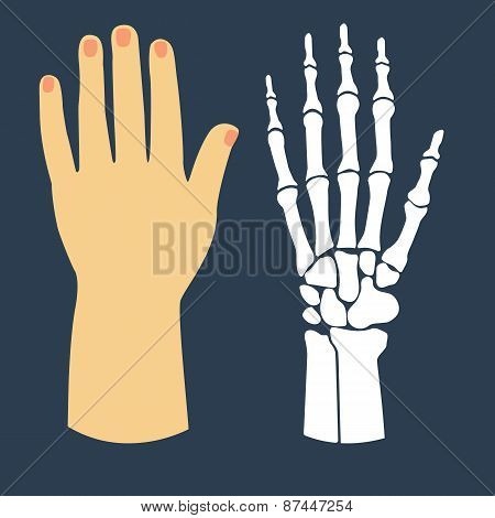 The flat design of the hand and the hand skeleton. Vector illustration.