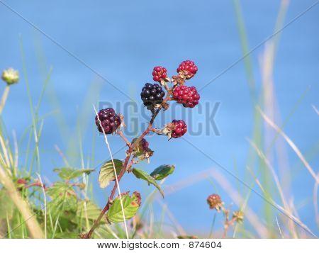 Ripening Blackberries Shallow Dof