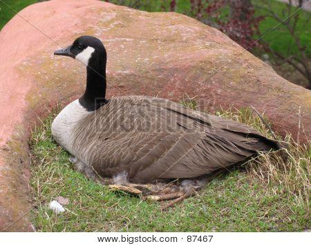 goose nest poster