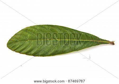 Closeup of single loquat leaf on a white background