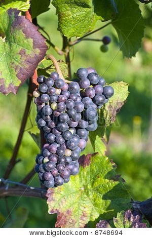 Bunch Of Violet Grapes