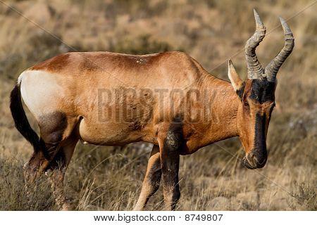 Red Hatebeest