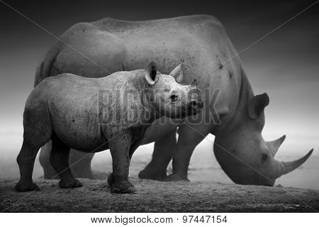 Black Rhinoceros calf (Diceros bicornis) standing with cow  at a waterhole - Etosha National Park (Digitally enhanced)
