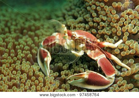 Spotted Porcelain Crab (Neopetrolisthes Maculatus) in an Anemone Filtering the Water for Food. Puri Jati Bali Indonesia poster