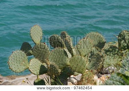 A cactus at the waterfront in Croatia