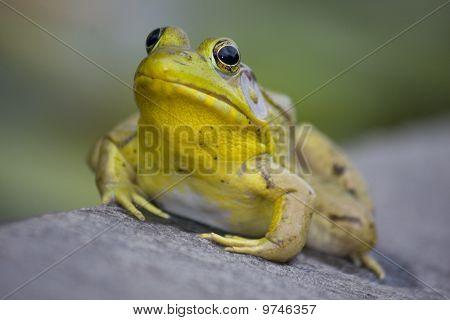 Bullfrog portrait
