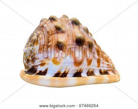 Shell Of Cypraecassis Rufa Or Bullmouth Helmet