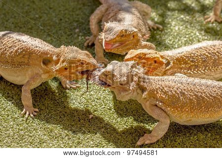 Pogona Vitticept reptiles competing for food, biting each other. Green background. poster