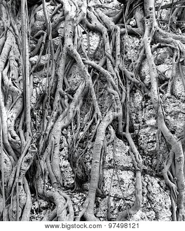 Intricate Aerial Root System Of The Banyan Tree