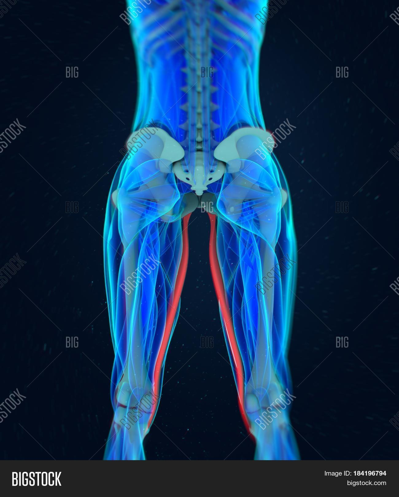Gracilis Muscle Image Photo Free Trial Bigstock