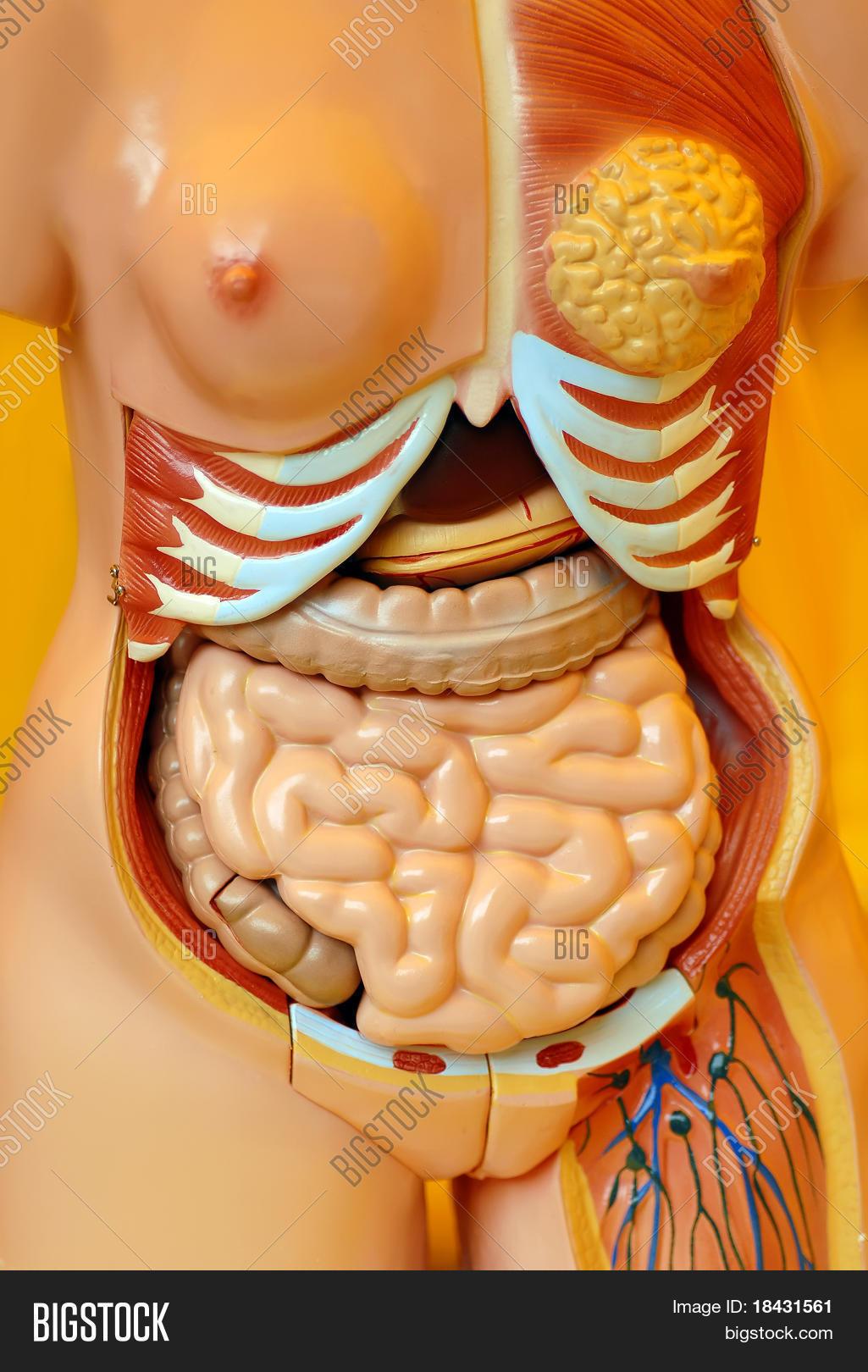 Organs Inside Female Image Photo Free Trial Bigstock