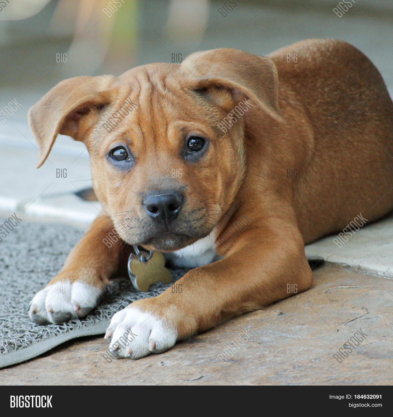 Adorable Puppy Boxer Image Photo Free Trial Bigstock