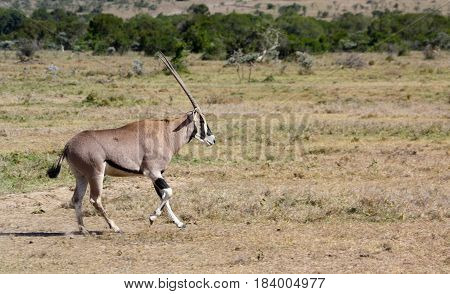 An oryx trotting across a grassy plain