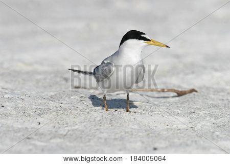 A Least Tern in breeding plumage on a beach in Florida