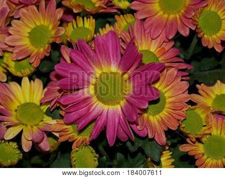Perenial Gaillardia (Blanket flower) Close up reddish and purplish perennial wild flower also called blanket flower